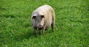 全国猪价地图出炉!养一头猪究竟能赚多少钱?