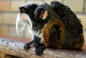 Four-year-old Emperor Tamarin Fritz (L) carries his newborn twins in their enclo...