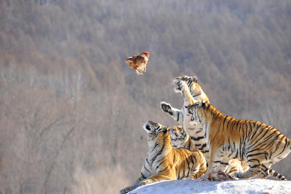 Siberian tigers act to catch prey at a Siberian tigers breeding base in Mudanjia...