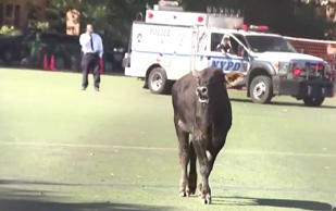 Bull runs free in Brooklyn