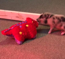 Hyper mini pig's reaction to new toy is hilarious