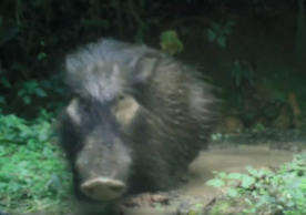 Watch rare footage of the mysterious giant forest hog