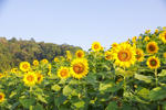 Lokasi Taman Wisata Bunga Matahari