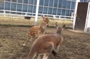 Deer and kangaroo have a friendly play fight