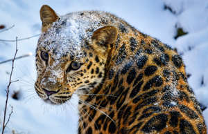 PRIMORYE TERRITORY, RUSSIA  NOVEMBER 18, 2017: A female Amur leopard called Rona...
