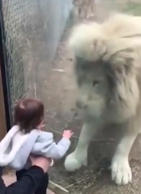 Huge lion wants to play with baby
