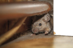 Close up shot of mouse peeking out of the dusty hole behind white furniture and ...