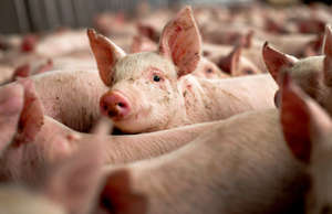 A terrible pandemic is killing pigs around the world, and U.S. pork producers fe...