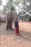 'Agitated' elephant sends mahout to the ground during training session