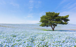 Mountain, Tree and Nemophila at Hitachi Seaside Park in spring with blue sky at ...